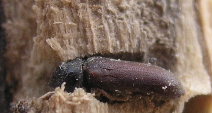 a common furniture beetle
