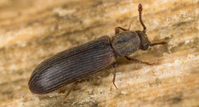 powder post beetle